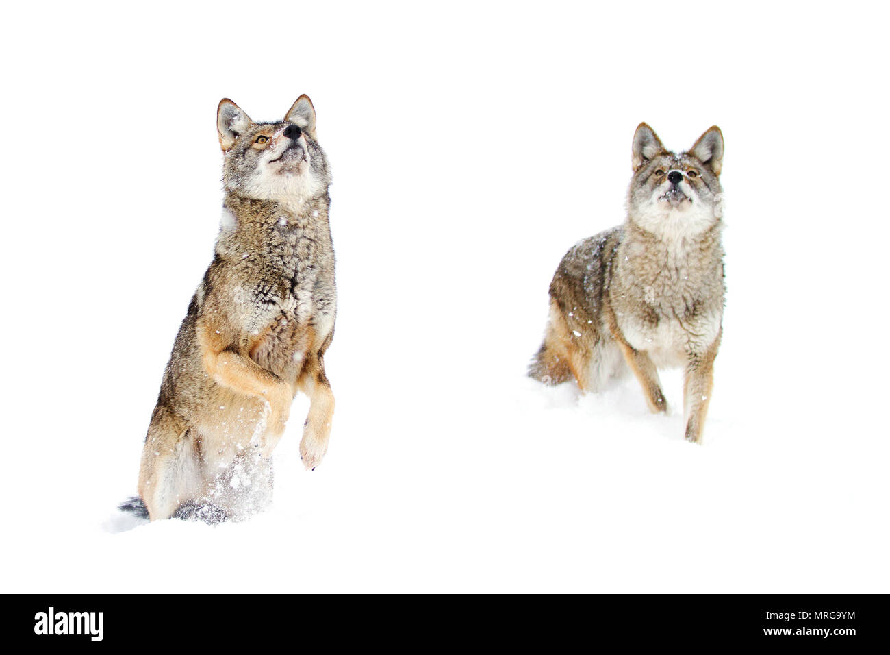 Two coyotes (Canis latrans) isolated against a white background standing in the winter snow in Canada - Stock Image