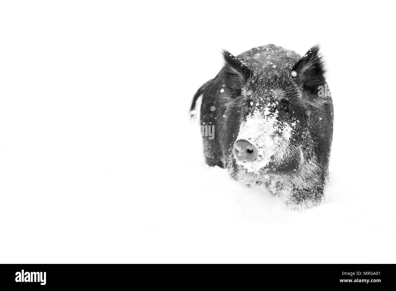 Wild boar standing in the winter snow in Canada - Stock Image