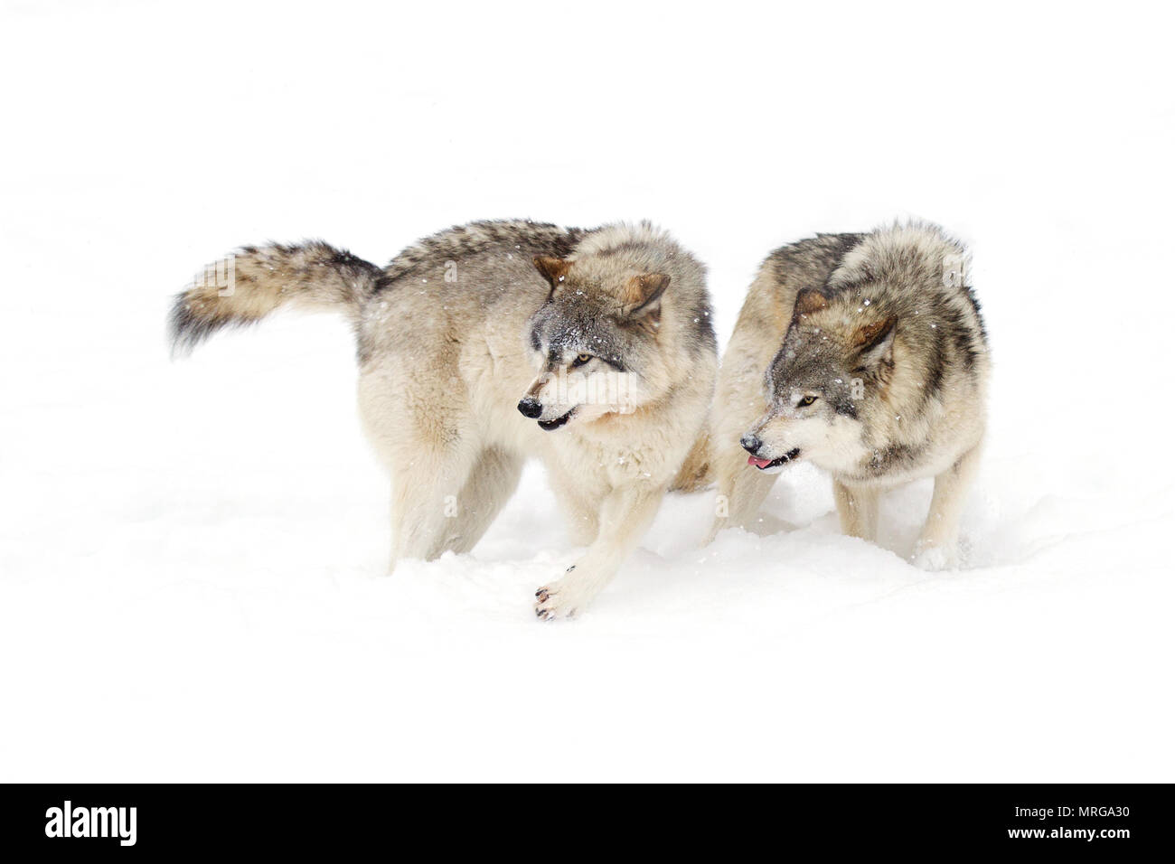 Timber wolf or Grey wolf (Canis lupus) standing in the winter snow in Canada - Stock Image