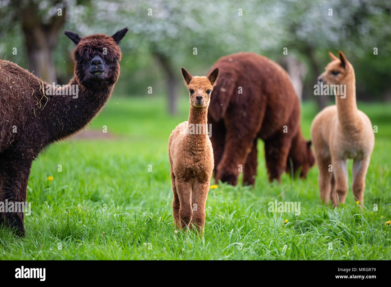 Alpacas with offspring, a South American mammal - Stock Image