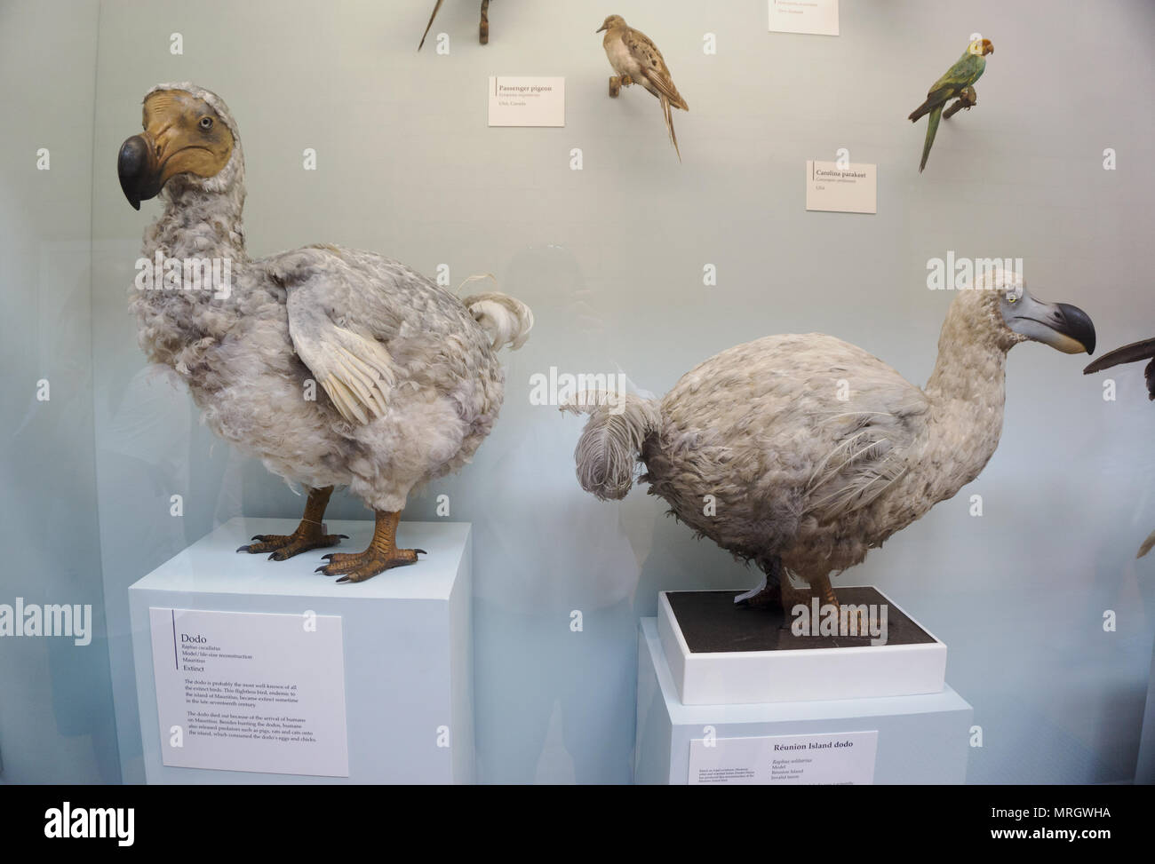 Extinct specimens of Mauritius Dodo, Raphus cucullatus, and Reunion Island dodo, Raphus solitarius models, Natural History Museum London England - Stock Image