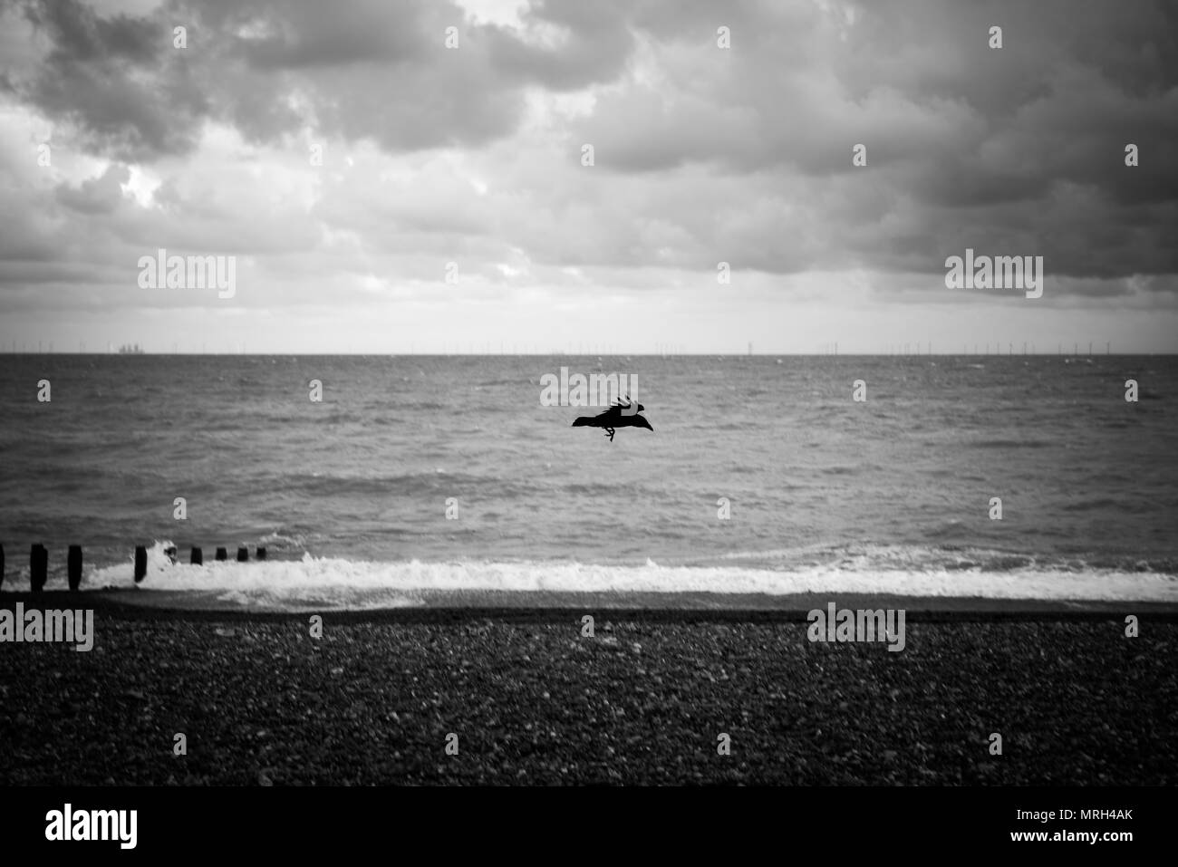 A black bird flying above the beach on a cloudy day. - Stock Image