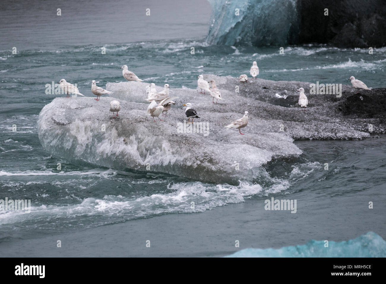Seabirds on the Jokulsarlon glacier lagoon located at Breiðamerkurjökull, an outlet glacier of the magnificent Vatnajökull Glacier which lies beyond it. Ice floe, ice float, sea ice, drift ice, blue ice Ice floe, Sea ice formation and features, floating ice blocks, rafts and hummocks, a large pack of floating ice on the Diamond Beach. The Jokulsarlon glacier,  drifting, floating, melting, warming, polar, arctic, global, glacier, blue, cold, thawing landscape, ocean lagoon black sand beach, Iceland. - Stock Image