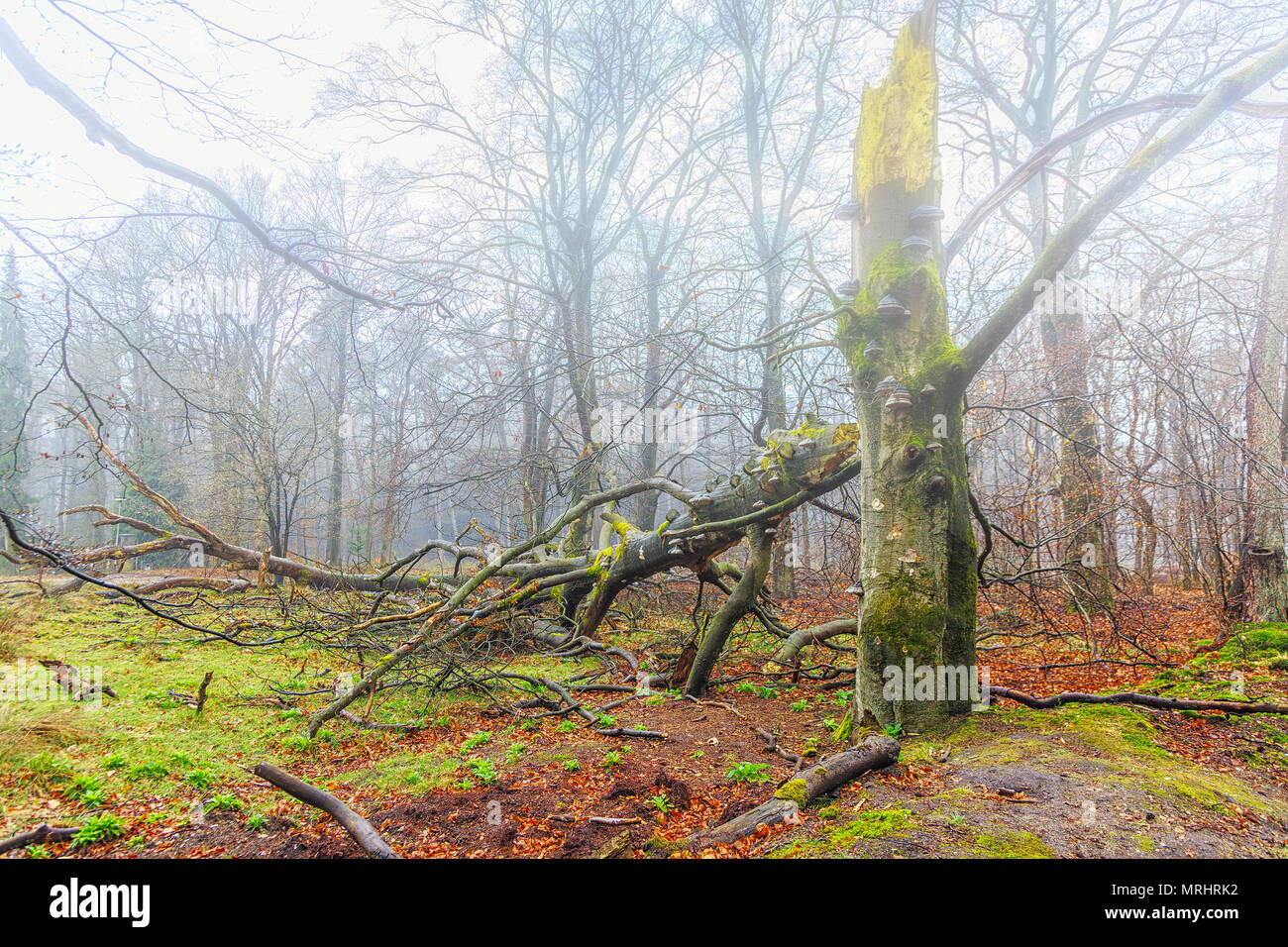 Dead beech tree Fagus sylvatica fomes Fomentarius, under covered with mushrooms in a wooded area in a water vapor become foggy forest - Stock Image