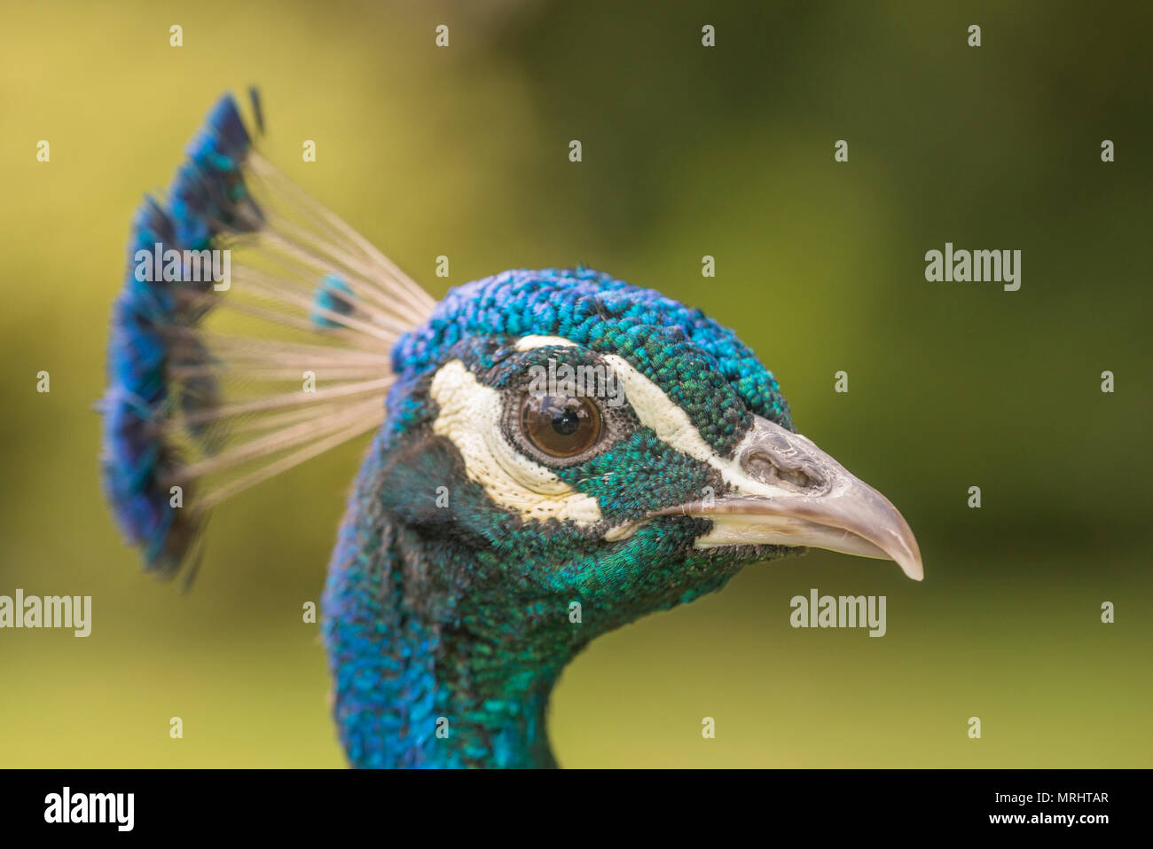 Head of Indian Peacock - Stock Image