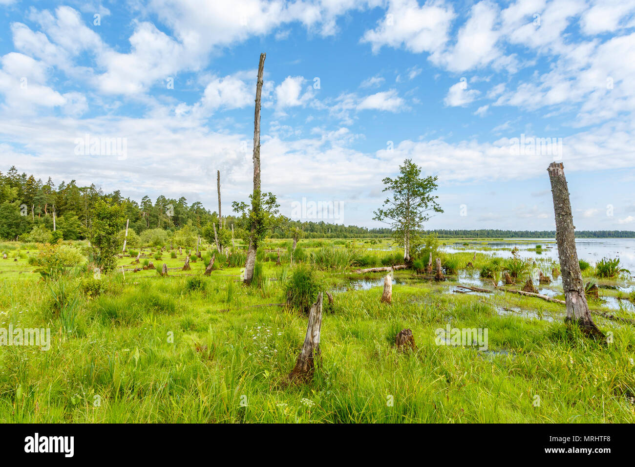 Wetland at a lake with dead trees and stumps Stock Photo