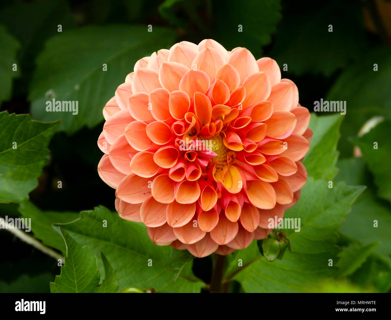 Close Up Of An Orange Dahlia Flower In The Uk Stock Photo 186634238