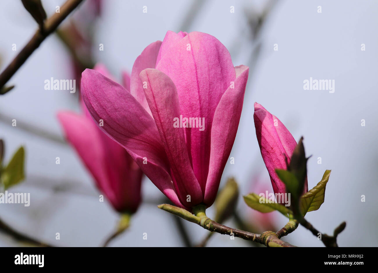Pink magnolia tree in flower in Roath Park Cardiff UK Stock Photo