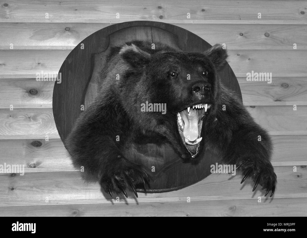 Black and white photo-a fierce bear with a horrible open mouth in the form of a Scarecrow on a log wall - Stock Image
