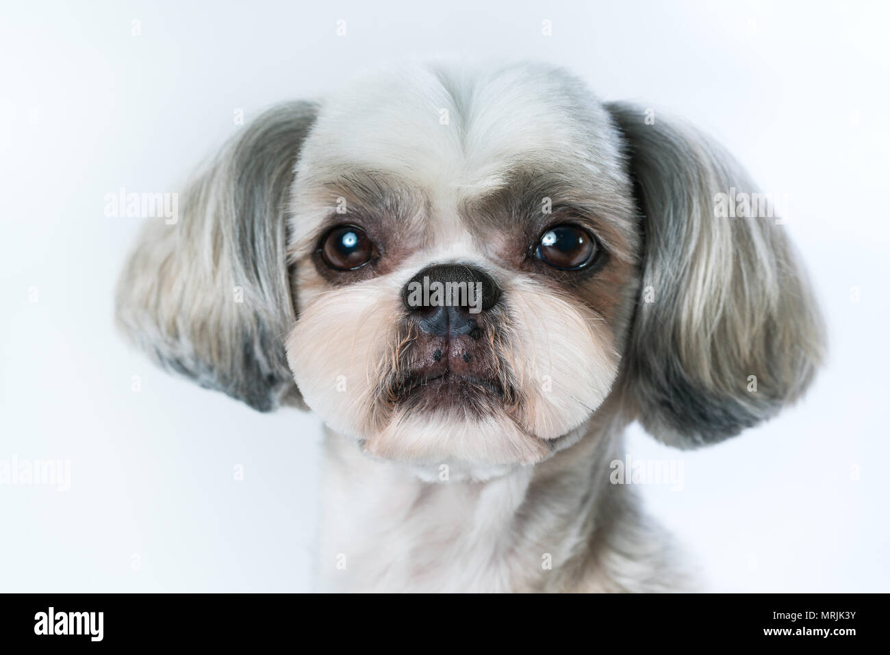 Shih Tzu Dog With Short Hair After Grooming Portrait On Bright