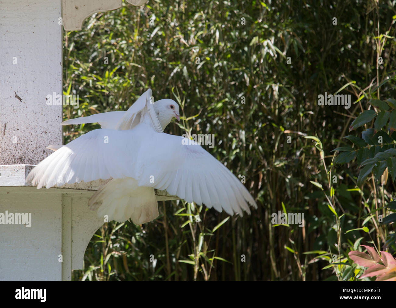 White dovecote with white doves engaged in courting behaviour - Stock Image