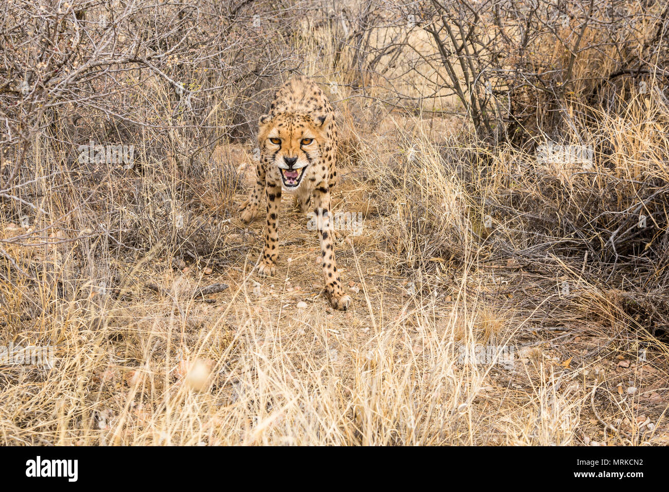 Cheetah snarling growling at camera - Stock Image