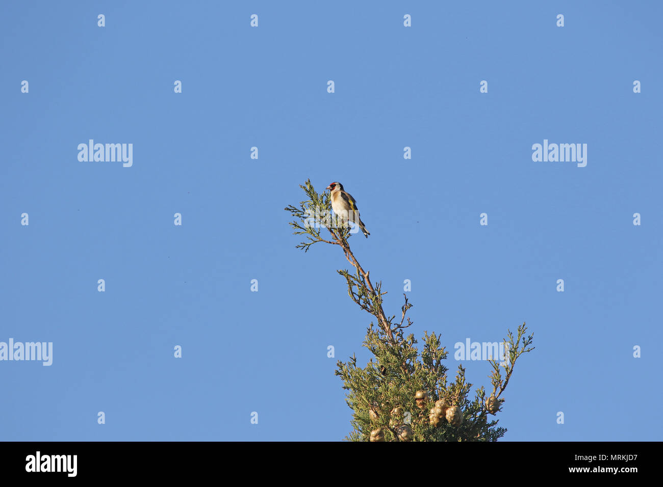 goldfinch or gold-finch bird Latin name carduelis carduelis family fringillidae on top of a cypress tree in spring in Italy - Stock Image