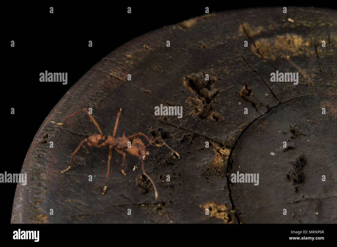 Leaf-cutter ant, Atta sp., Formicidae, Carara National Park, Costa Rica Stock Photo