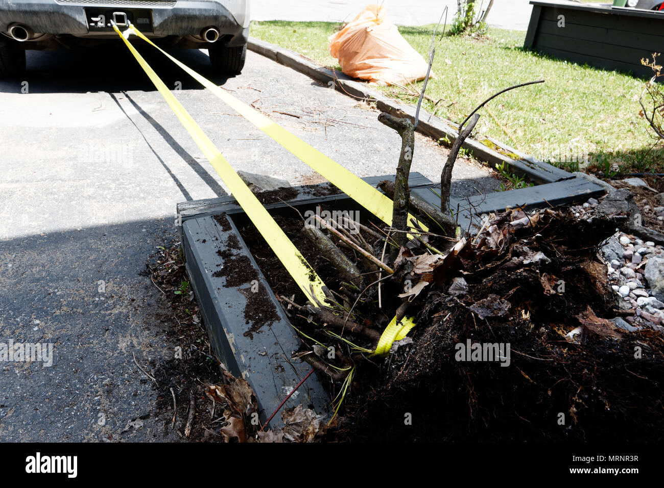 Uprooting a stubborn bush by pulling it with a car - Stock Image