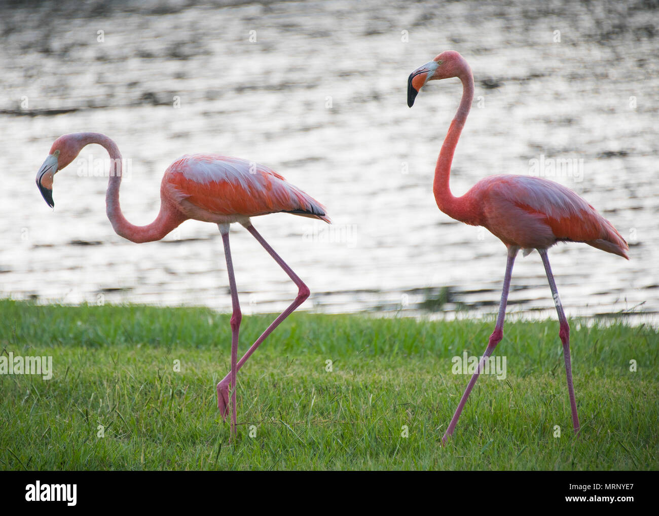 A pair of flamingos walk the bank of Weekly Pond June 23 at Eglin Air Force Base, Fla. According to a Jackson Guard biologist, the flamingos may be in the area because they were caught in a storm or seeking shelter from a weather front. (U.S. Air Force photo/Ilka Cole) - Stock Image
