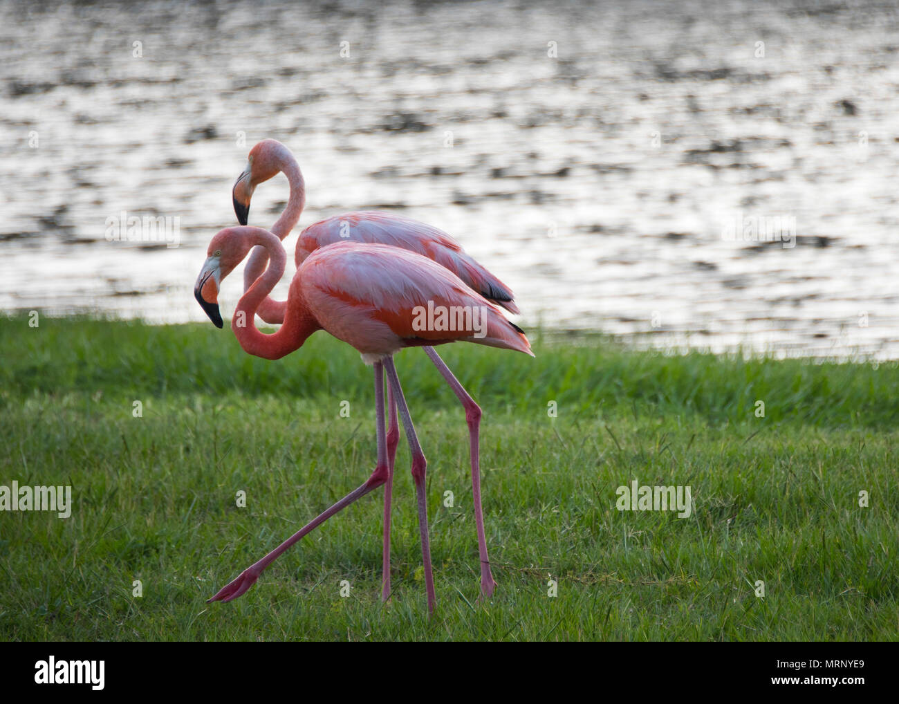 A pair of flamingos walk the bank of Weekly Pond June 23 at Eglin Air Force Base, Fla. According to a Jackson Guard biologist, the flamingos may be in the area because they were caught in a storm or seeking shelter from a weather front.(U.S. Air Force photo/Ilka Cole) - Stock Image