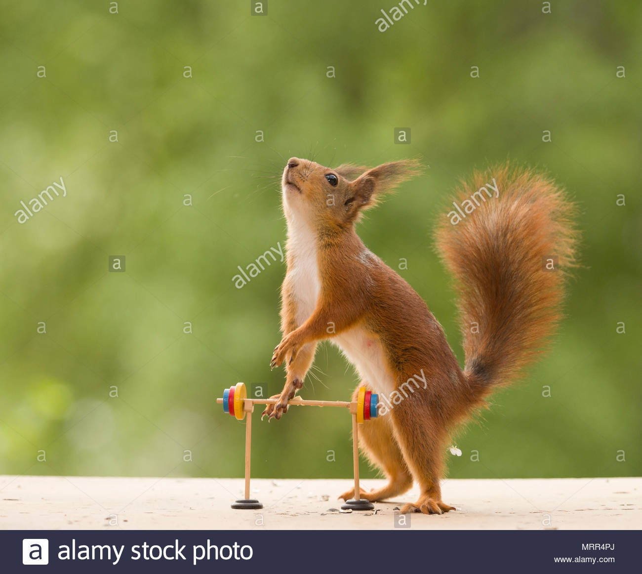 red squirrel is holding an Barbell - Stock Image