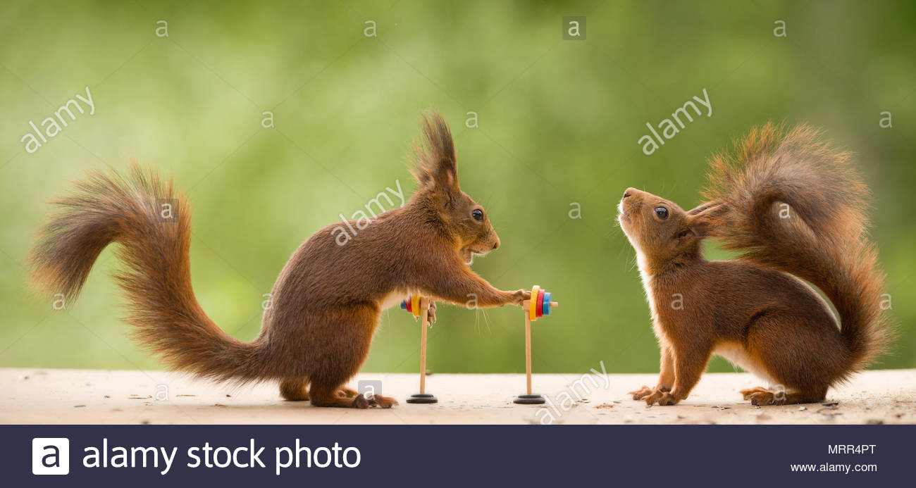 red squirrels holding an Barbell - Stock Image