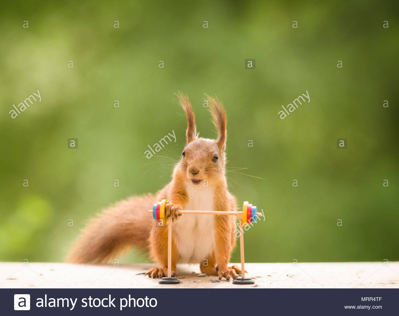 red squirrel is holding on to a Barbell - Stock Image