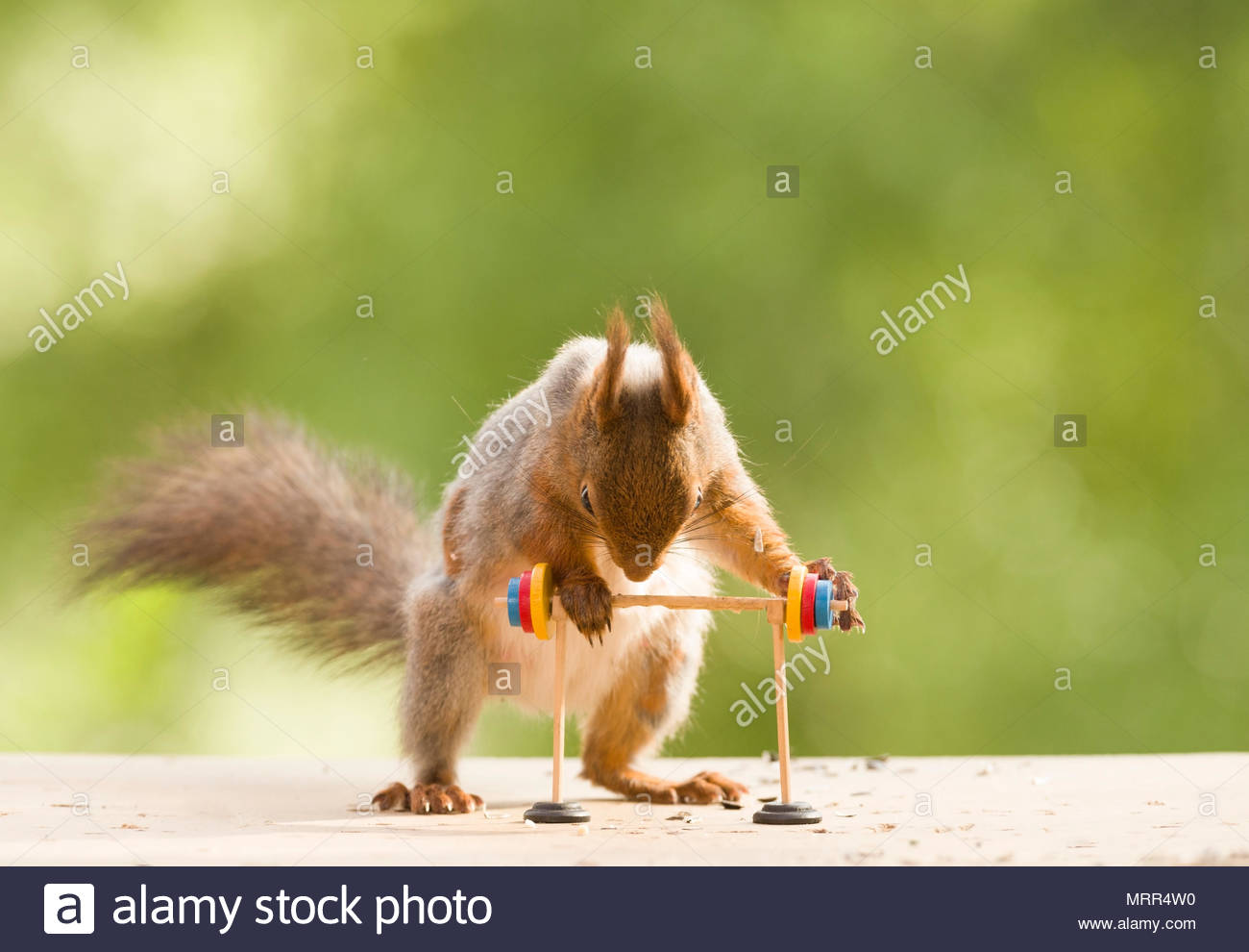 red squirrel is leaning over a Barbell - Stock Image