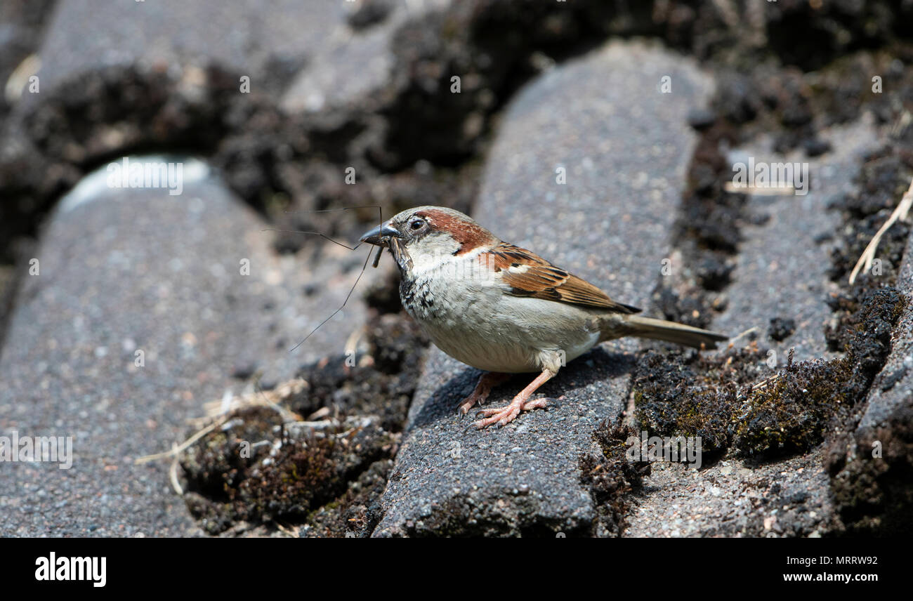A House Sparrow (Passer domesticus) perched on house roof with food in beak for young in nest under roof tiles. Kildary, Ross-Shire, Scotland - Stock Image