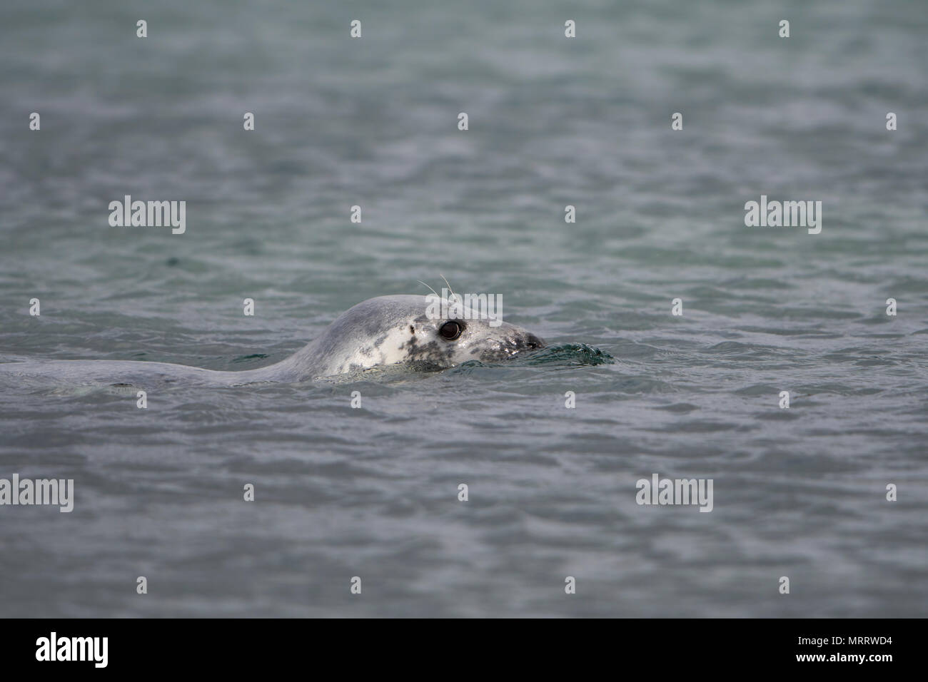 A inquisitve Grey Seal (Halichoerus grypus) swimming on water surface, Loch Fleet, Sutherland, Scotland,UK - Stock Image