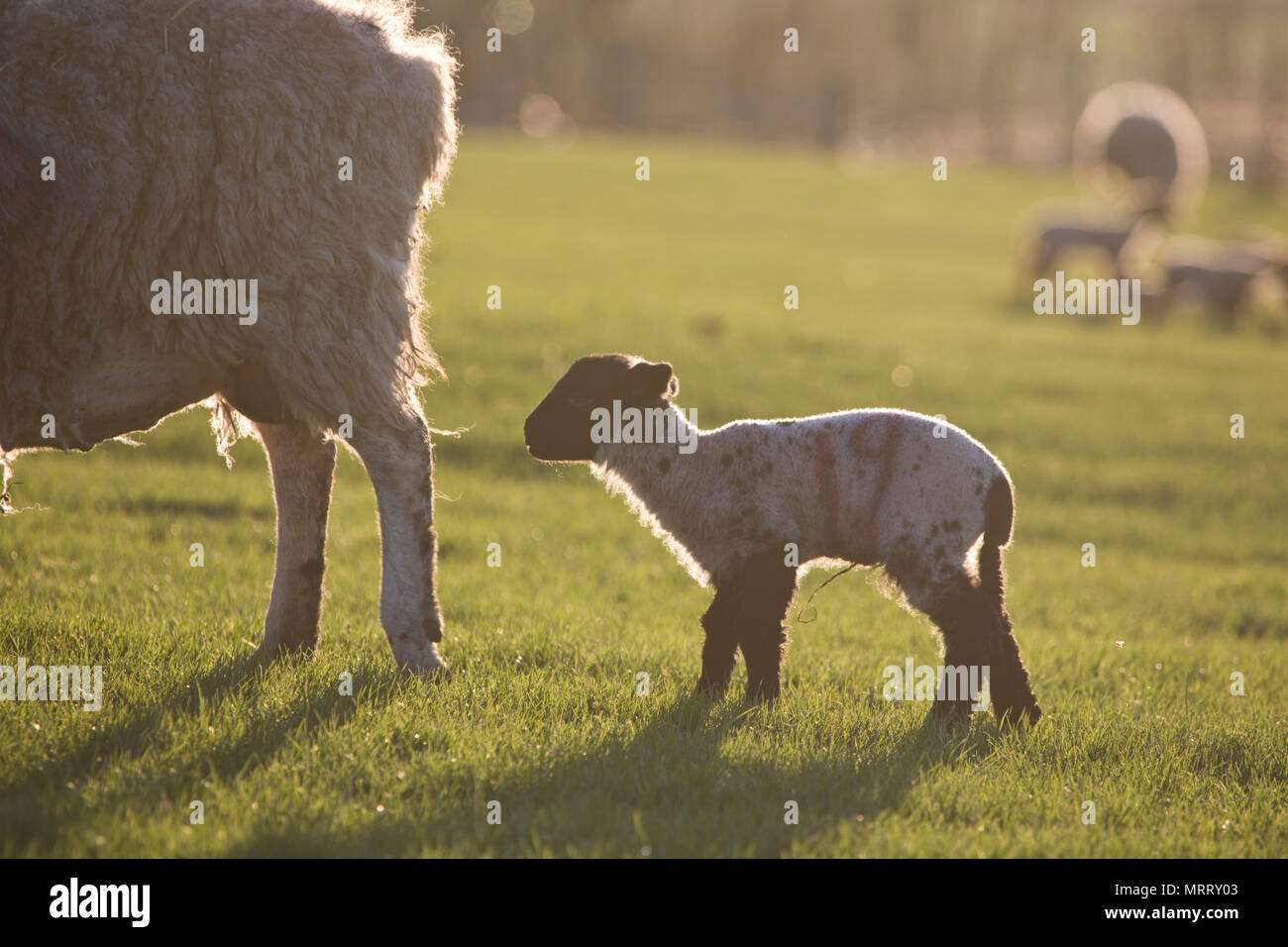 Sheep and lambs in a field in North Yorkshire, England, United Kingdom - Stock Image
