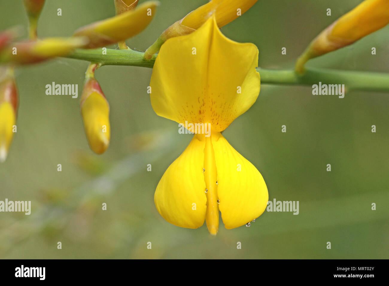Yellow broom flower stock photos yellow broom flower stock images yellow broom or ginsestra flower latin name ginesta cinerea not cytisus scoparius or spachianus in spring mightylinksfo