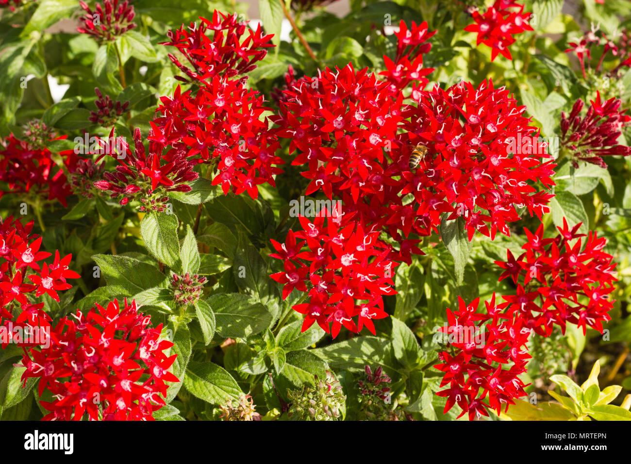 Blooming pentas flowers stock photo 186779229 alamy blooming pentas flowers mightylinksfo