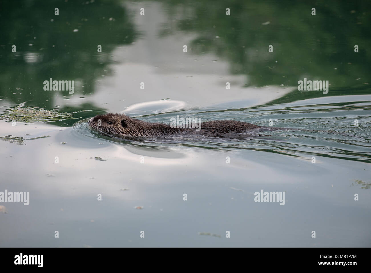 A coypu, also known as the nutria, is a large, herbivorous, semiaquatic rodent. Pictured in an urban canal near the coast of Slovenia. - Stock Image
