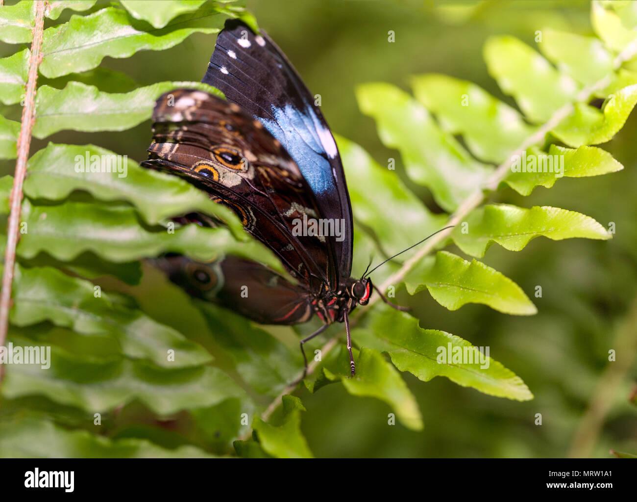 Blue morpho (Morpho peleides) - Stock Image