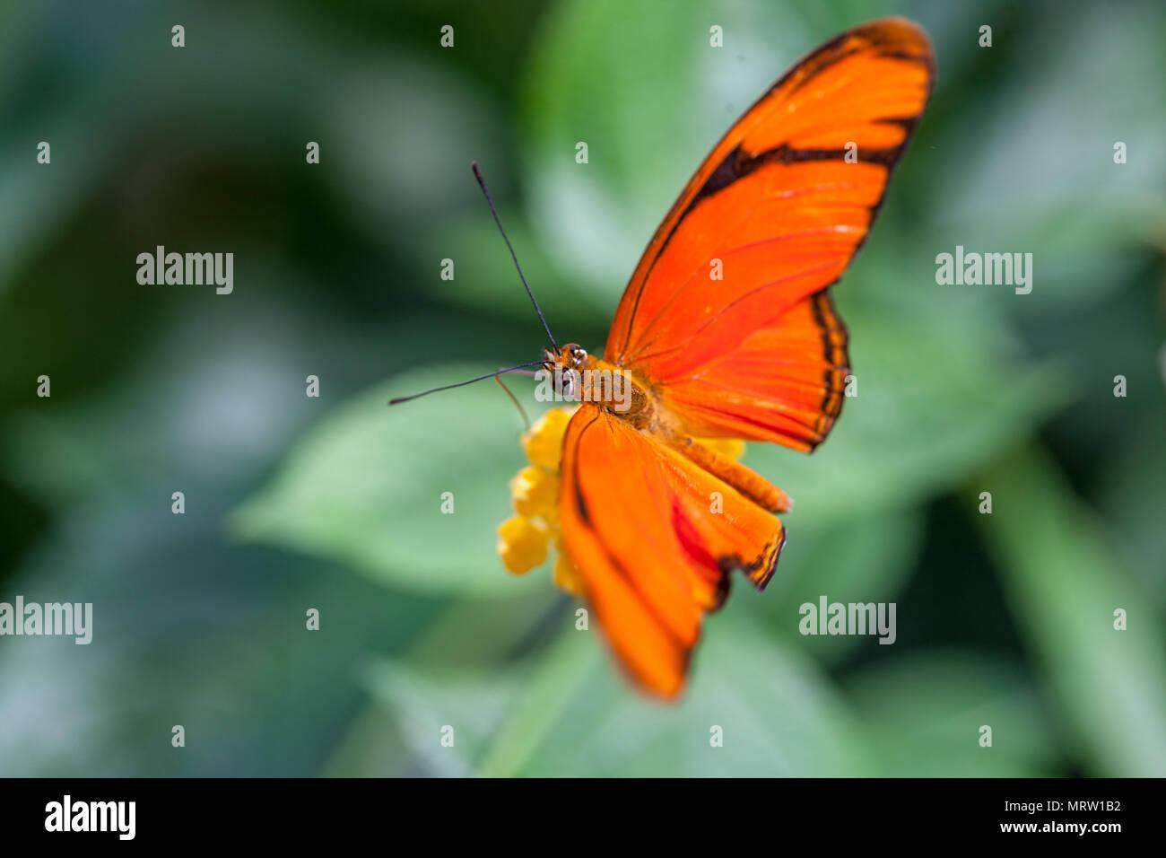Julia Butterfly, Julia Heliconian (Dryas iulia) - Stock Image