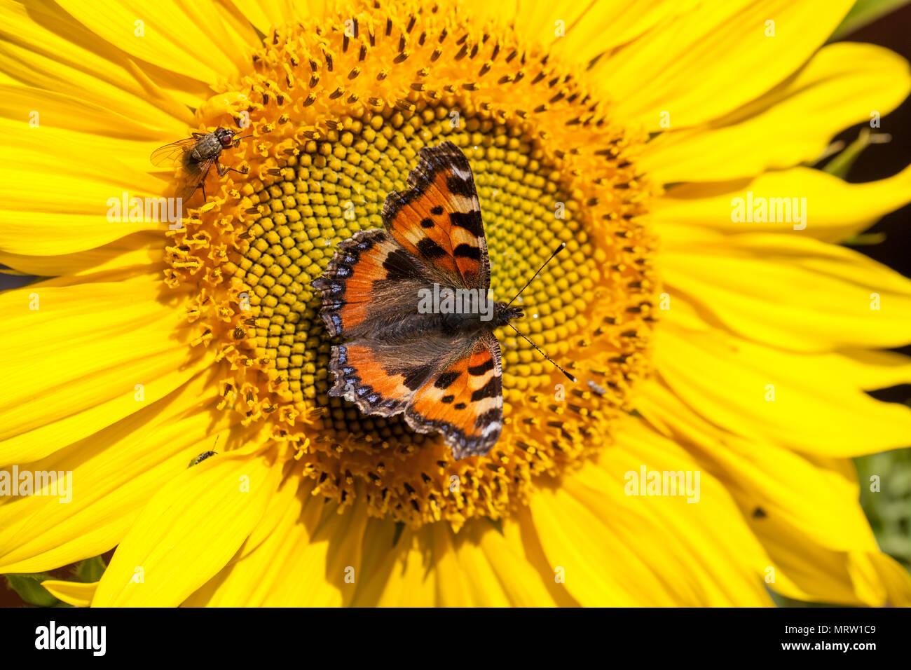 Small tortoiseshell, Nässelfjäril (Aglais urticae) - Stock Image
