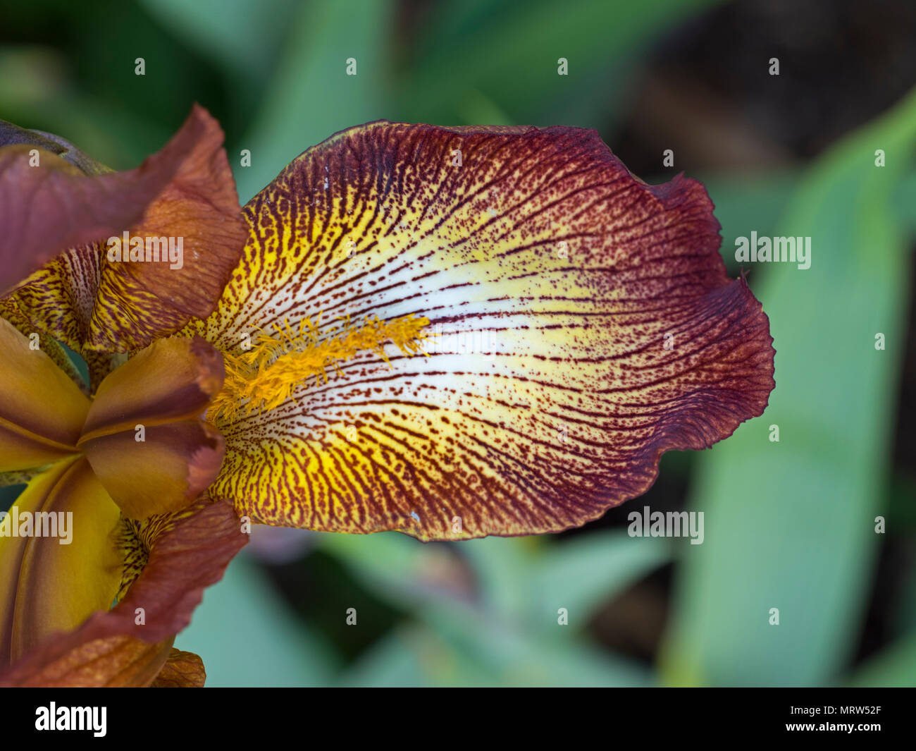 leaf detail of Iris Ola Kala - Stock Image