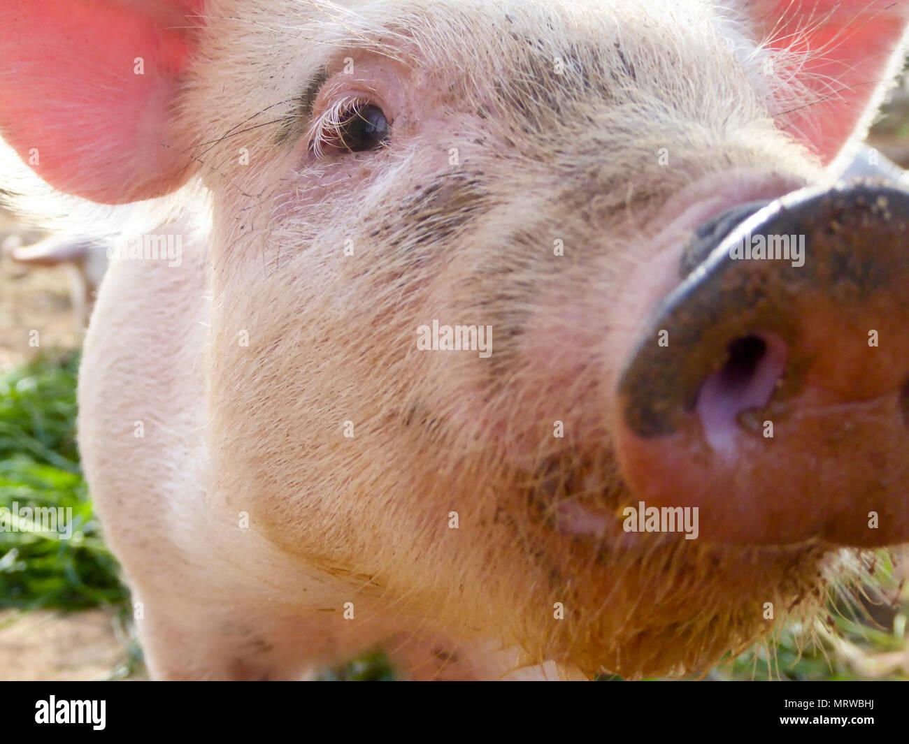 Domestic Pig (Sus scrofa domestica) Piglet, curious, portrait, close-up, Majorca, Balearic Islands, Spain - Stock Image