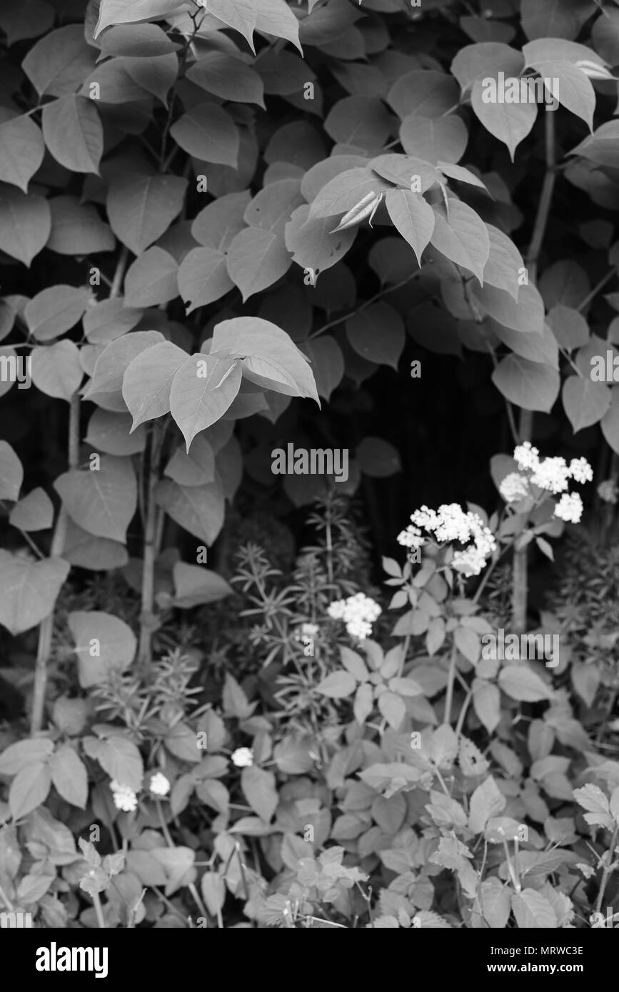 Fallopia japonica - Stock Image