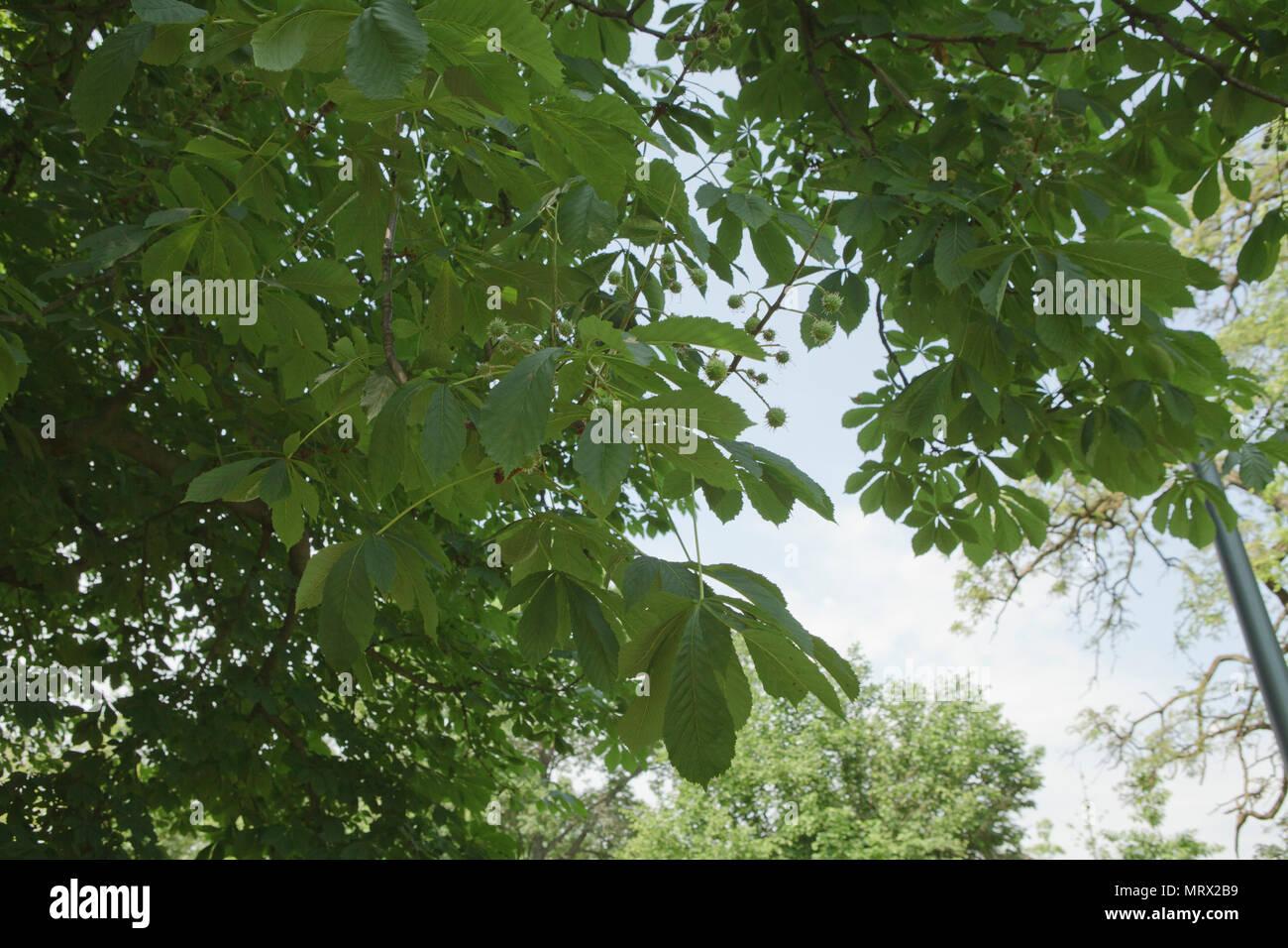 chestnut twig on blue sky backround - Stock Image