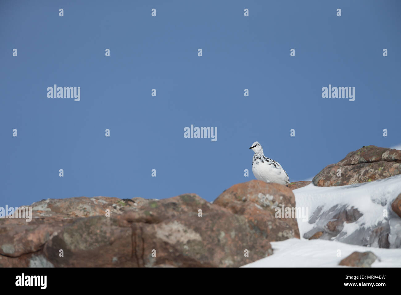 Ptarmigan (Lagopus mutus) perched, walking, calling and feeding amongst heather and rocks, in the Scottish Highlands. - Stock Image