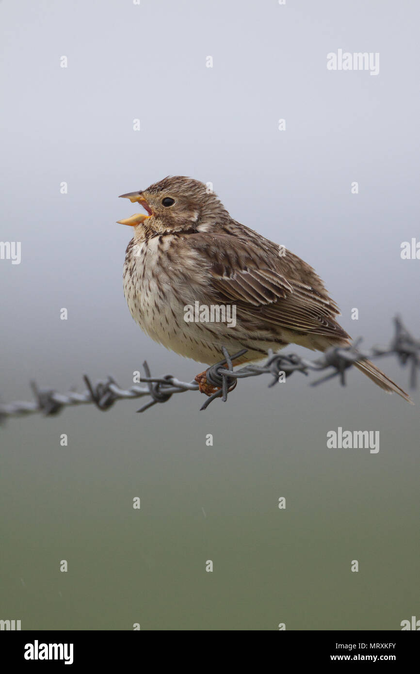 Corn bunting (Miliaria calandra) perched singing on a barbed wire fence on North Uist, Scotland, in the rain. - Stock Image