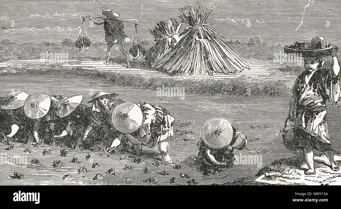 Setting young rice plants, China, 19th Century illustration - Stock Image