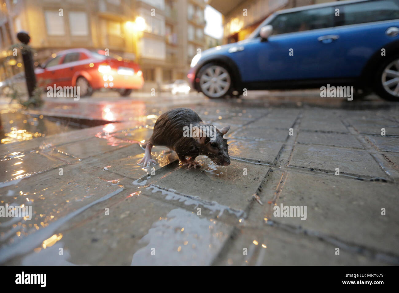 A rat comes out wet to the street after a heavy storm - Stock Image