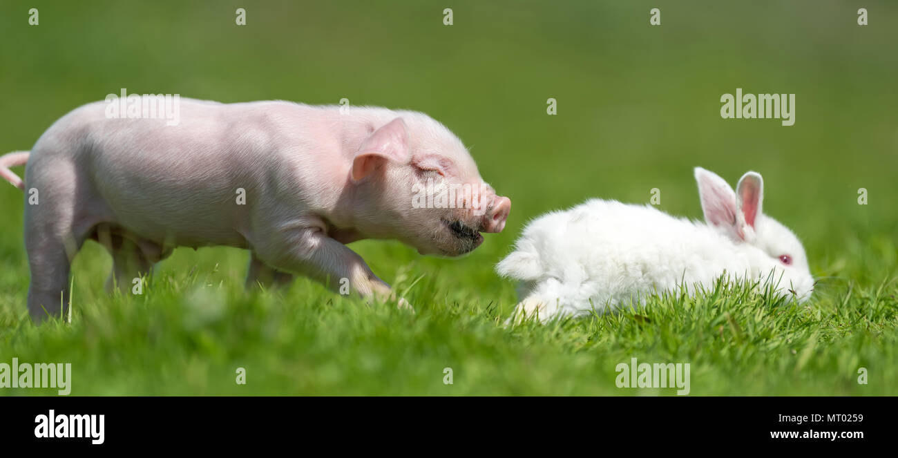 Newborn piglet and white rabbit on spring green grass on a farm - Stock Image
