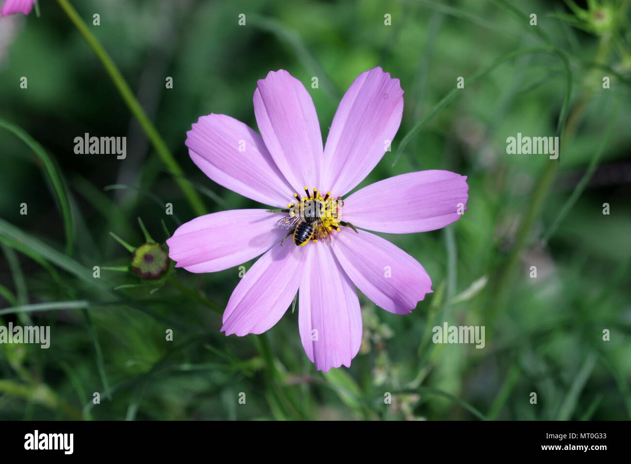Bee on the Flower Cosmos of gently lilac color on a green vegetable background it is horizontal. Close up. Macro.  Family asteraceae - Stock Image