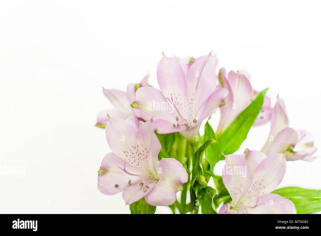 Fresh purple peruvian lily alstroemeria flowers isolated on white fresh purple peruvian lily alstroemeria flowers isolated on white background mightylinksfo