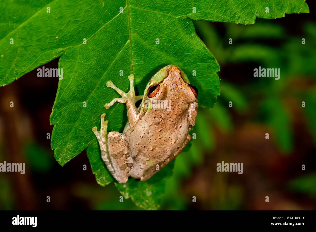 Cuban treefrog - Stock Image