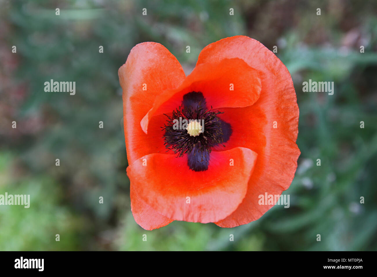 Poppy flower or papaver rhoeas remembering 1918, the Flanders Fields poem by John McCrae and 1944 Red Poppies on Monte Cassino song by Feliks Konarski - Stock Image