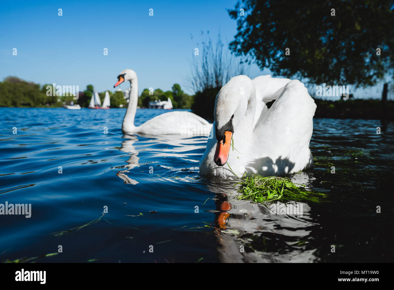 Couple of white grace swan on Alster lake on a sunny day in Hamburg Stock Photo