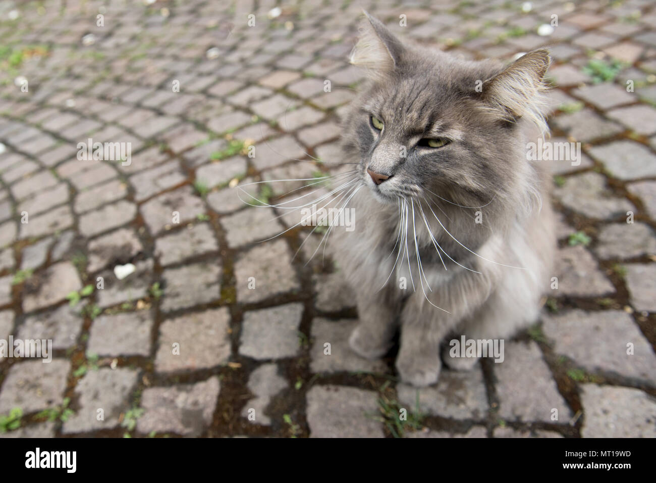 High angle view of gray cat sitting on side walk,Heidelberg,Germany - Stock Image