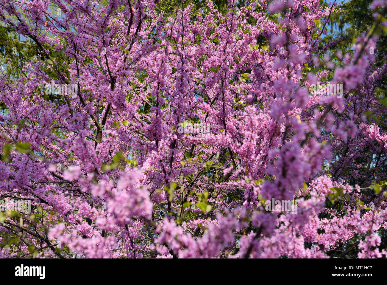 Pink Eastern Redbud Tree Flowers In Spring At Dominion Arboretum On